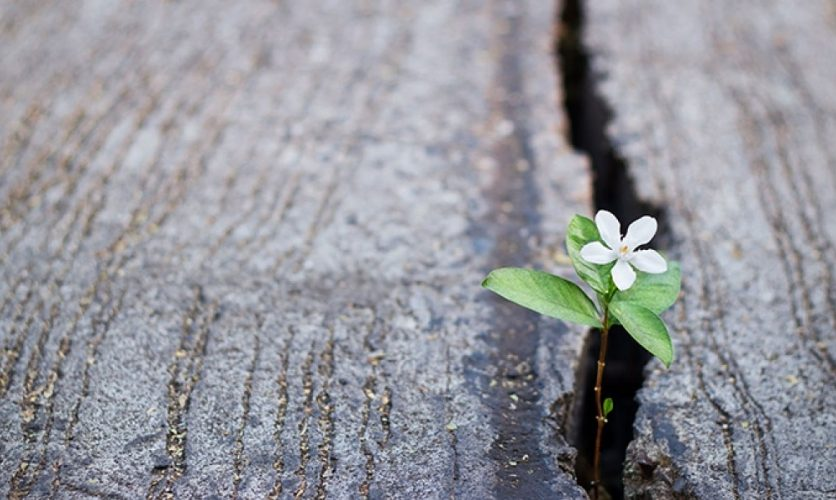 A tiny white flower with green leaves growing between two pieces of stone.