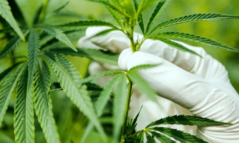 Hand with rubber glove reaches for a marijuana plant.